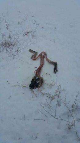Bumsuz'da aç kalan kurtlar köpekleri yemeye devam ediyor...