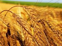 2013 buğday alım fiyatları açıklandı