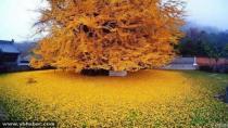 Çin'de bulunan efsaneleşmiş 1400 yıllık Gingko Ağacı