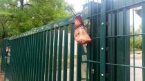 Almanya'da caminin önüne domuz kafası bırakıldı