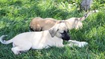 Konya'da vahşet! Yavru köpeklerin ayaklarını kestiler